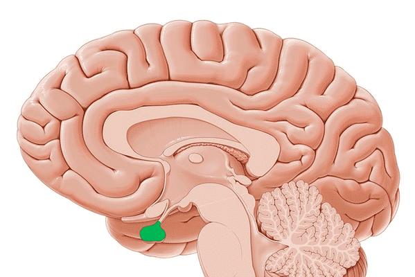 Anatomia da glândula pituitária