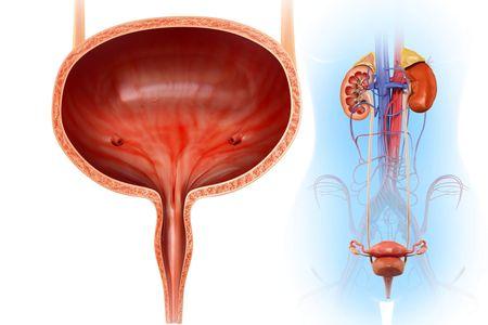 Anatomia do Trato Urinário, Localização, Peças e Imagens