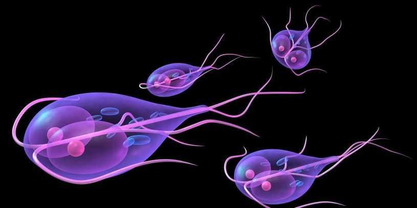 Giardia (Giardíase) Recuperação de Infecções do Intestino, Dieta, Tratamento