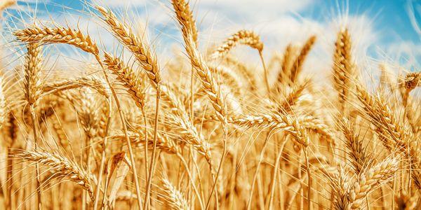 Sinais de intolerância ao glúten, alergia e sensibilidade ao trigo