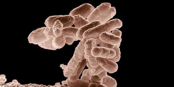 stec-vtec-e-coli-rota-de-transmissão-fazenda-para-garfo