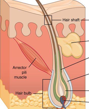 As funções da pele e suas estruturas associadas