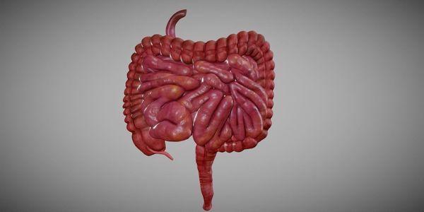 Intestino Pequeno e Grande – Anatomia, Função, Flora, Fotos