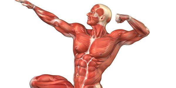Músculos Esqueléticos, Fibras, Miofibrilas e Miosina, Filamentos de Actina
