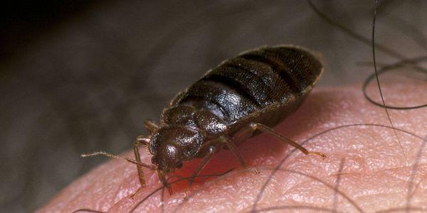 fotos de insetos que se alimentam de humanos e causam doenças