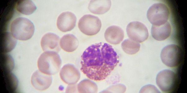 granulócitos de glóbulos brancos