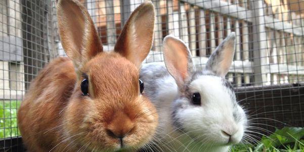 tularemia da febre do coelho